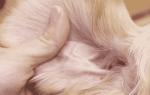 У собаки в ухе коричневые выделения: у таксы пахнет из ушей