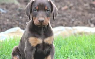 Как воспитывать щенка добермана?