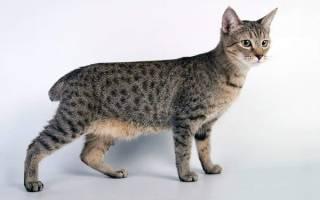 Порода кошек пиксибоб фото, пикси боб