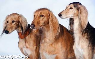 Салюки порода собак описание