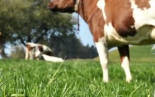 Какая порода коров самая высокоудойная