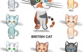 Породы британских кошек фото и название, окрас w61