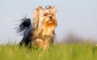 До какого возраста растет щенок Йорка?