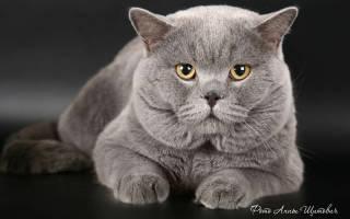 Чем отличается британская порода кошек от шотландской?