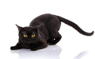 У кота лысеют задние лапы