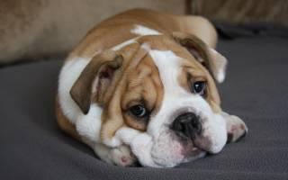 Как промыть собаке желудок в домашних условиях?