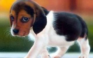 В каком возрасте лучше брать щенка бигля?