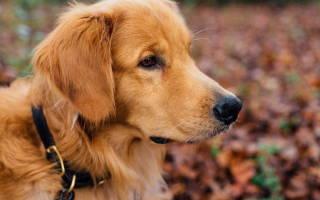 Грыжа у щенка на животе, пупок у собак фото
