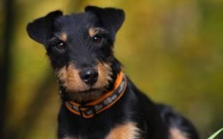 Как выбрать щенка ягдтерьера для охоты?