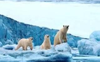 Рост белого медведя на задних лапах