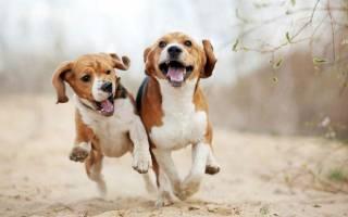 Какая порода собак самая глупая?