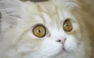 Конъюнктивит у котят лечение в домашних, коньюктивит у кошек