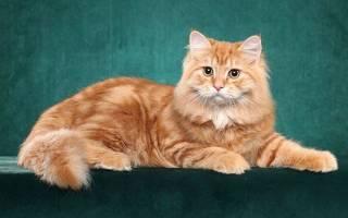 Породы рыжих котов с фотографиями названиями, кошки с длинным хвостом