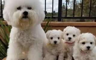 Какие породы собак гипоаллергенные для людей?