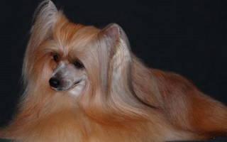 Сколько лет живут китайские хохлатые собаки?
