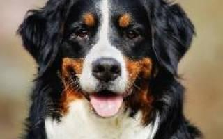 Собака из счастливы вместе порода какая — бернский зенненхунд щенок фото