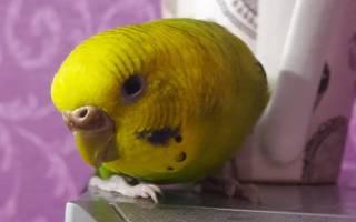 Нарост на восковице у волнистого попугая