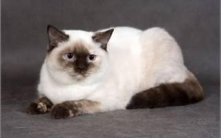 Британец колор пойнт фото, колорпоинтовые кошки