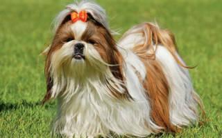 Собаки породы ши тцу фото, шит цу