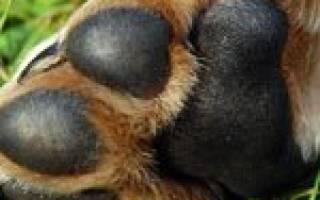 Потовые железы у собак, какие животные потеют?