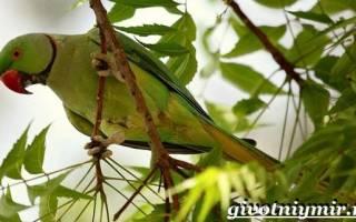 Александрийский попугай описание
