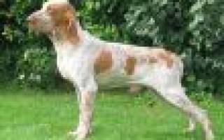 Породы легавых собак с фотографиями и названиями – веберский легавый