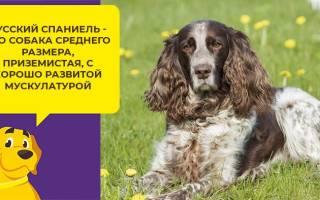 Как ухаживать за щенком русского спаниеля?
