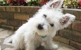 Вест хайленд уайт терьер характеристика породы, west highland terrier