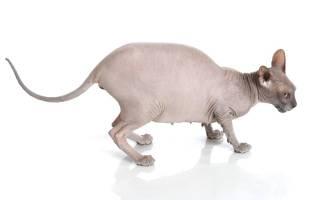 Отошли воды у кошки через сколько роды