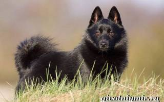 Шипперке собака описание