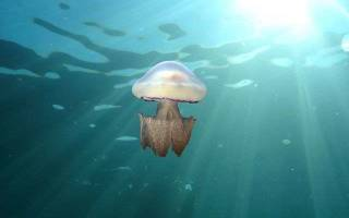 Способ добывания пищи медузы корнерот