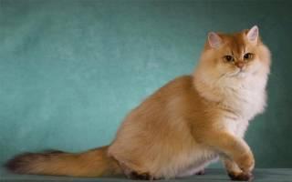 Британская длинношерстная кошка описание породы и характера