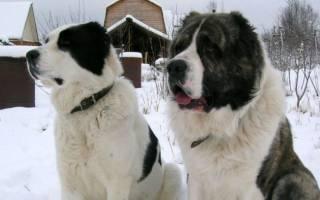 Кто больше алабай или кавказская овчарка?