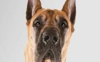 Дог собака описание породы и характера