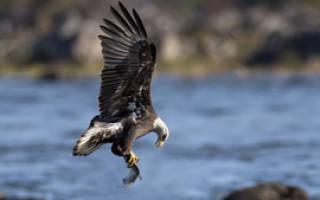 Что выдает орла во время охоты – как охотится орел?