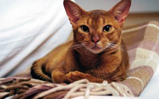 Аббисинцы кошки описание