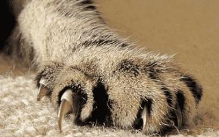 Почему у кота слоятся когти?