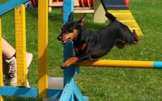 Как воспитать собаку правильно порода цвергпинчер?