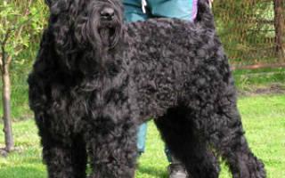 Черный метцнер порода собак описание