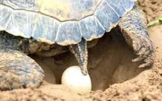 Как красноухие черепахи откладывают яйца?