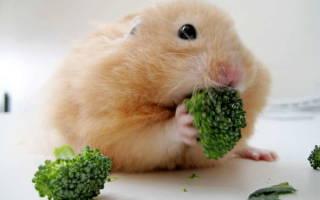 Можно ли хомякам капусту?