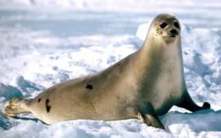 Чем отличается морж от тюленя?