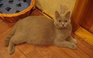 Признаки беременности у кошек на ранних сроках, кошка после вязки плохо ест