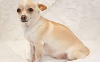 Можно ли глистогонить беременную собаку?