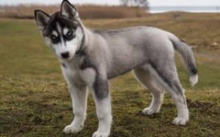 Как выбрать щенка сибирской хаски?