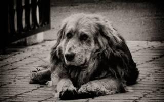 Как понять что собака умирает от старости, умер пес