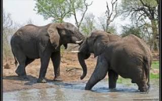 Правда ли что слоны боятся мышей, слоновая мышь