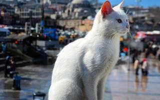 Анатолийская кошка описание породы