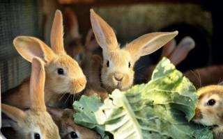 Можно ли кормить кроликов капустой?