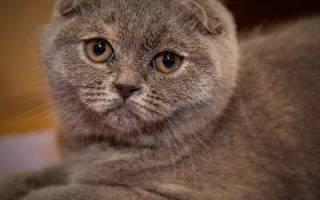 Шотландские вислоухие котята описание породы